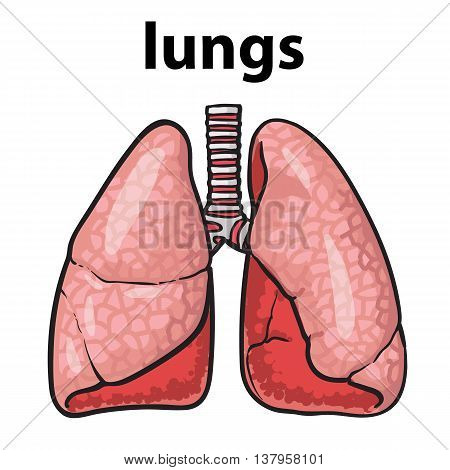 Sketch the lungs, sketch hand-drawn illustration isolated on white background, realistic sketch human red beautiful healthy lungs, the lungs of a healthy person clean