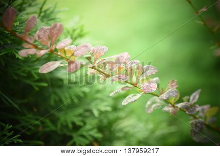 Pink-and-maroon barberry - be careful with it