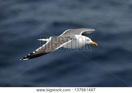 Herring gull flying over blue sea side view