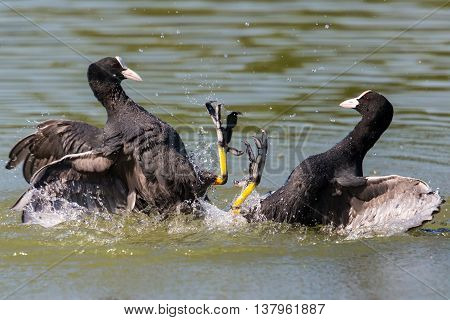 Two fighting black coot (fulica atra) birds with water drops