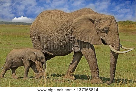 Mother and Baby Elephant walking across the plains in the Masai Mara