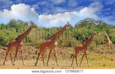 Journey of Giraffes walking across the Plains in South Luangwa National Park