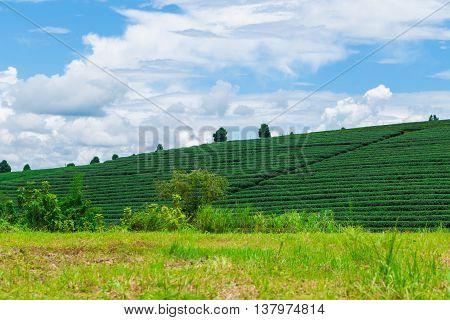 Tea Plantation On Mountain With Blue Sky