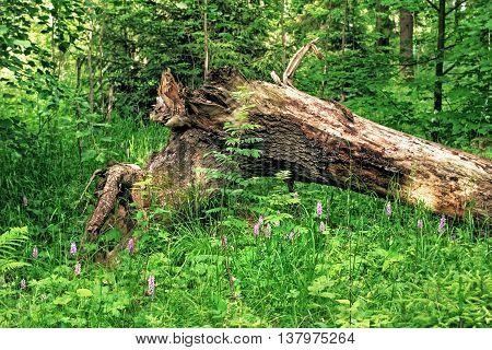 Broken tree in forest woods at summer day