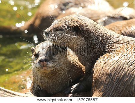 A pair of cuddling Oriental Short Clawed Otters