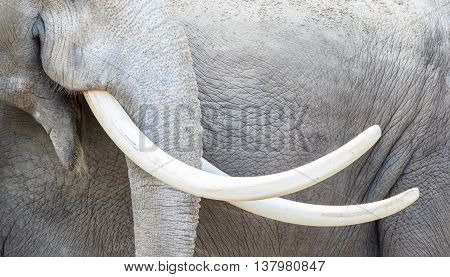 Asian Elephant (elephas Maximus) Tusks Close-up