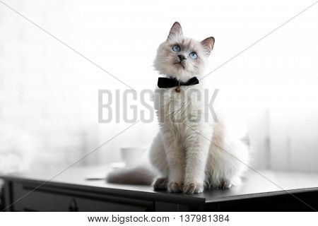 Color-point cat with bow tie sitting on black table in living room