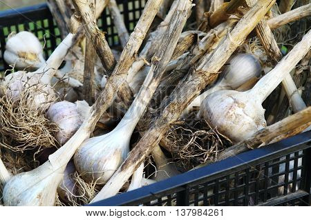 Garlic Fresh garlic Garlic group garlic lying in a drawer