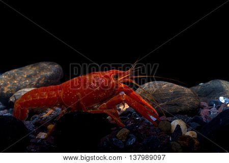 Mexican Orange Crayfish