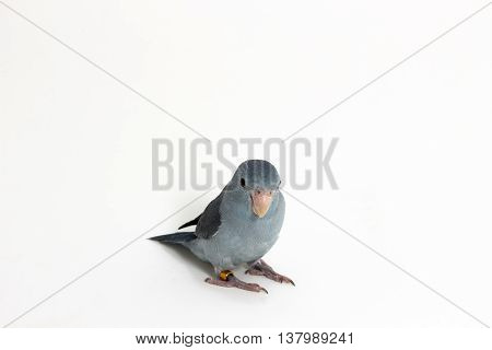 Mauve Forpus, Parakeet, Bird