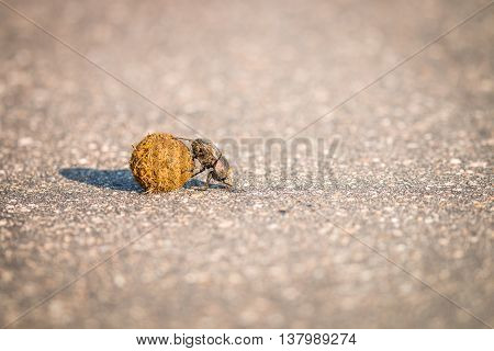 A Dung Beetle Rolling A Ball Of Dung On The Road.