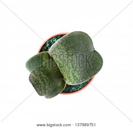 Home plant in flowerpot on white background