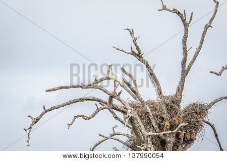 An African Spoonbill Sitting In A Tree In The Kruger National Park.