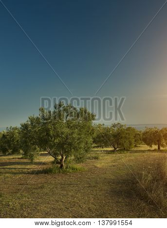 Olive trees sunset and the sea in Greece