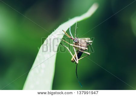 The mosquito on leaves with green background