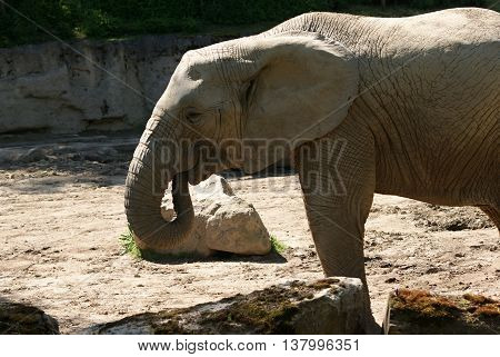 African Elephant (Loxodonta africana) with trunk in mouth