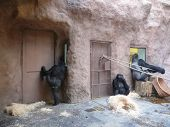 stock photo of tarzan  - Big gorillas looking though a window in the zoo