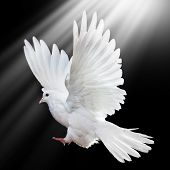 foto of holy-spirit  - A free flying white dove isolated on a black background - JPG