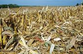 stock photo of ethanol  - Corn stalks - JPG