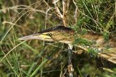 a juvenile of little bittern