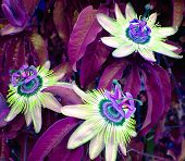 image of passion fruit  - photo of three passion fruit flowers - JPG