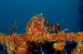 Giant Frogfish (orange)