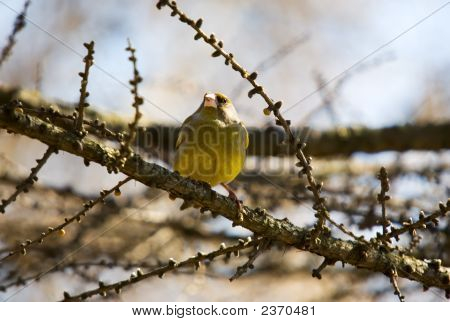 Siskin On Branch Of A Larch