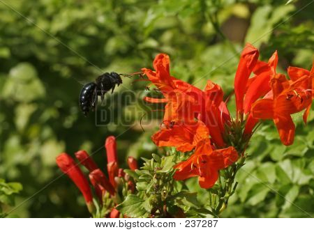 Carpenter Bee Coming In For A Landingoncapehoneysucle