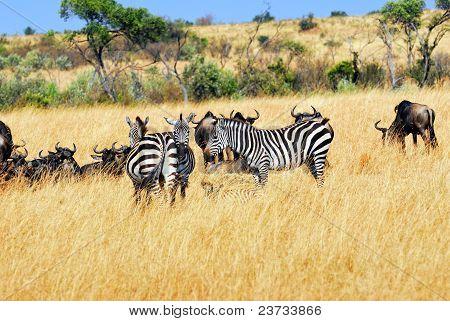 Gnus And Zebras