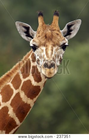 Giraffe Stare