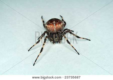 Cross Spider Orb Spider Crawling On White Background Isolated