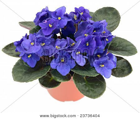 Potted African Violet (saintpaulia Ionantha)