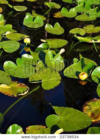 Vibrant Lily Pads