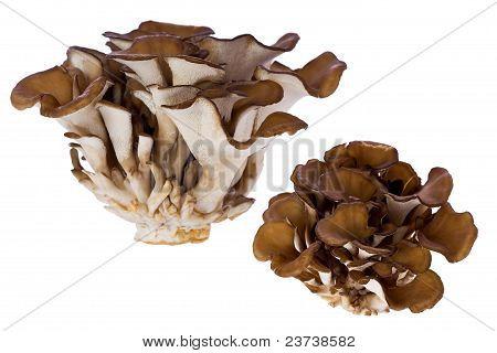 Hen Of The Woods Mushroom (grifola Frondosa)