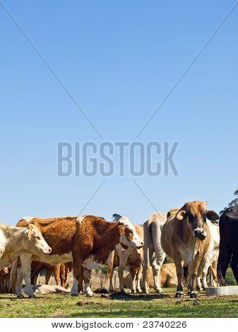 Herd Of Beef Cattle With Blue Sky Copyspace