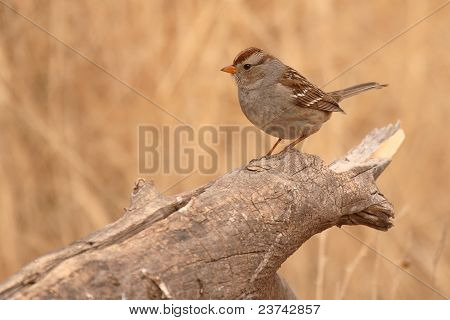 White-crowned Sparrow Perched On Log