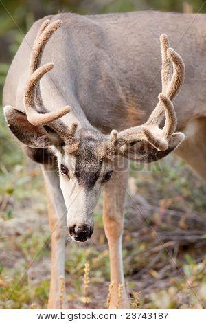 Mule deer buck with velvet antler grazing