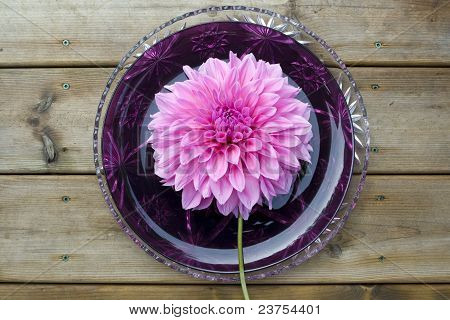 Giant dahlia flower on a plate