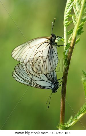 A Mating Pair Of Black-veined White Butterflies (aporia Crataegi)