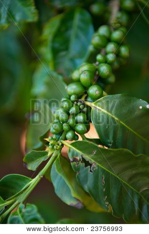 Coffee Plant Detail