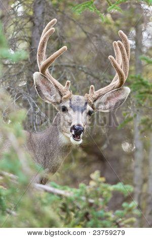 Funny mule deer buck portrait with velvet antler