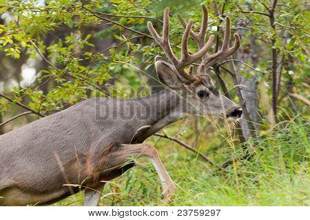 Beautiful mule deer buck with velvet antler