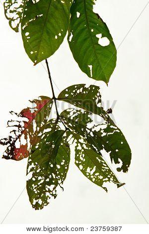 Injured leaf on white