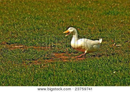 singing,dancing duck