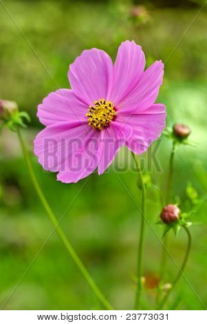 Pink Cosmea (cosmos) Flower