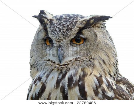 Horned owl's isolated portrait