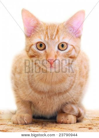The Domestic Cat (Felis Silvestris f. catus) Close up with shallow DOF.