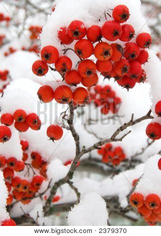 Snowy Red Crabapples