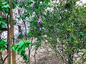 Lilac Blooming Near The House. Lilac Blossom In The Garden Of A Fence. Spring Flowers. Beautiful Lil poster