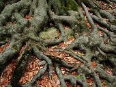 image of centenarian  - Strong roots of an old beech tree embracing the earth - JPG